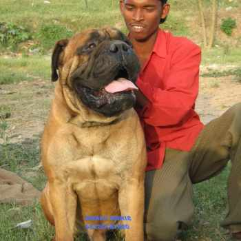 Bull Mastiff Dog For Sale