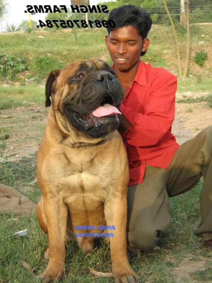 Bull Mastiff Dog Price