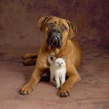 Bull Mastiff Puppy Care