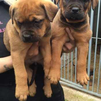 Bull Mastiff Rottweiler Mix Puppies For Sale