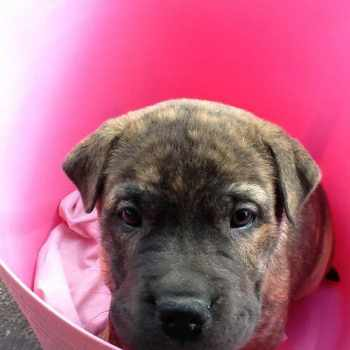 Bull Mastiff Shar Pei Mix