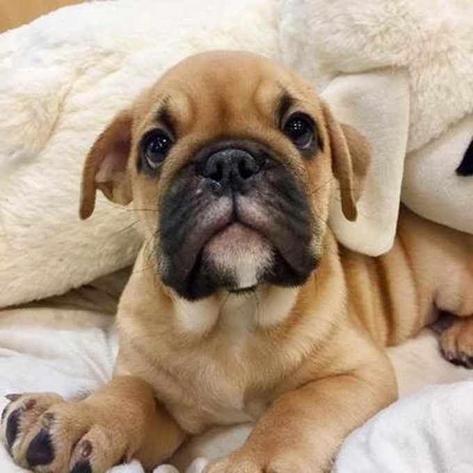 Bull Pug Puppies For Sale