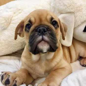 Bull Pug Puppies
