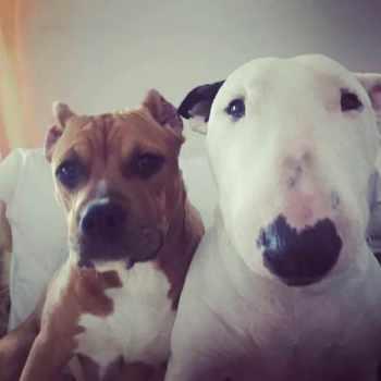 Bull Terrier And Pit Bull