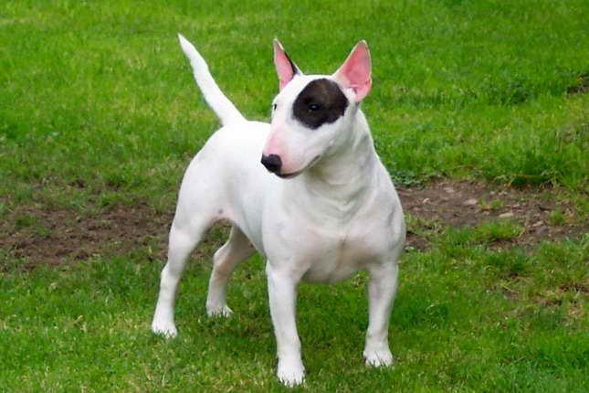 Bull Terrier Breeders Texas