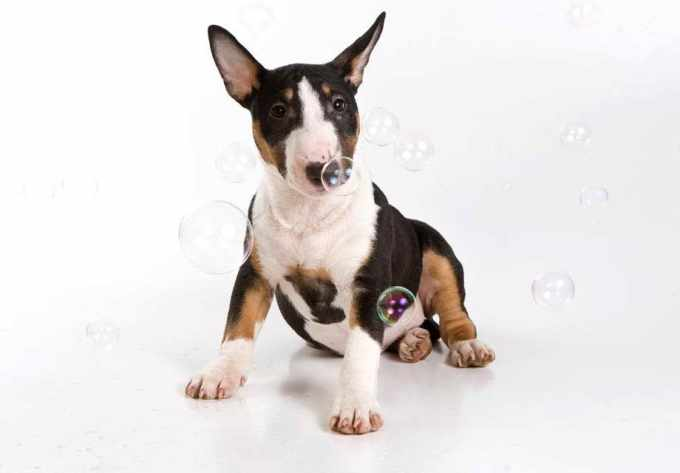 Bull Terrier Breeders Washington State