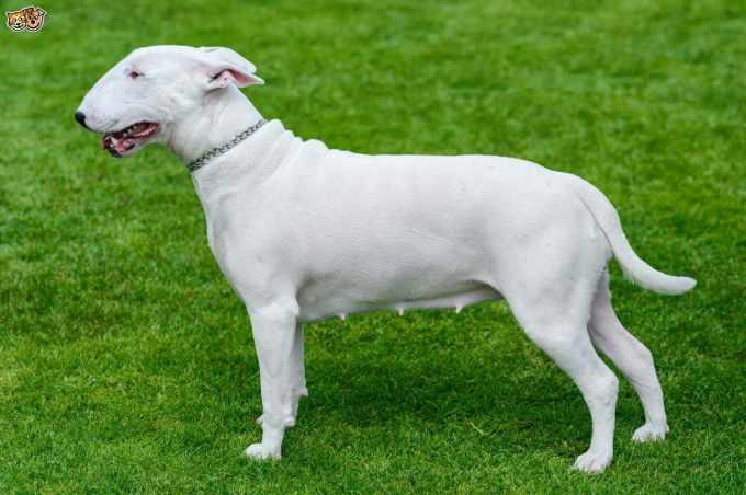 Bull Terrier Dog Breeds