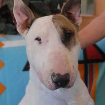Bull Terrier For Adoption