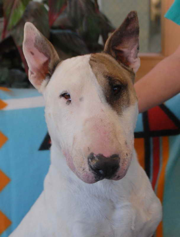 Bull Terrier For Adoption
