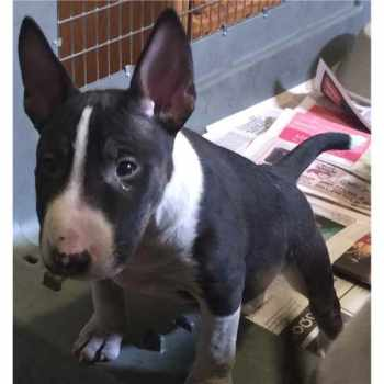 Bull Terrier For Sale In Illinois