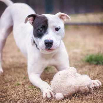 Bull Terrier Mix Puppies
