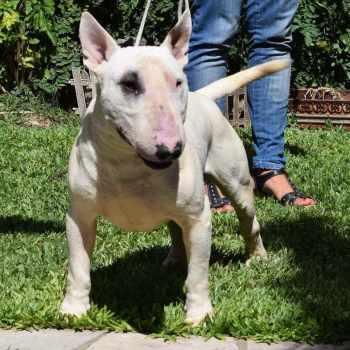 Bull Terrier Precios
