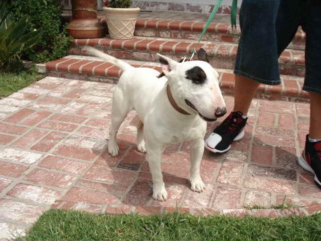 Bull Terrier Puppies California