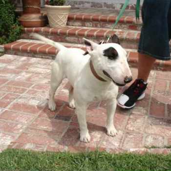 Bull Terrier Puppies For Sale California