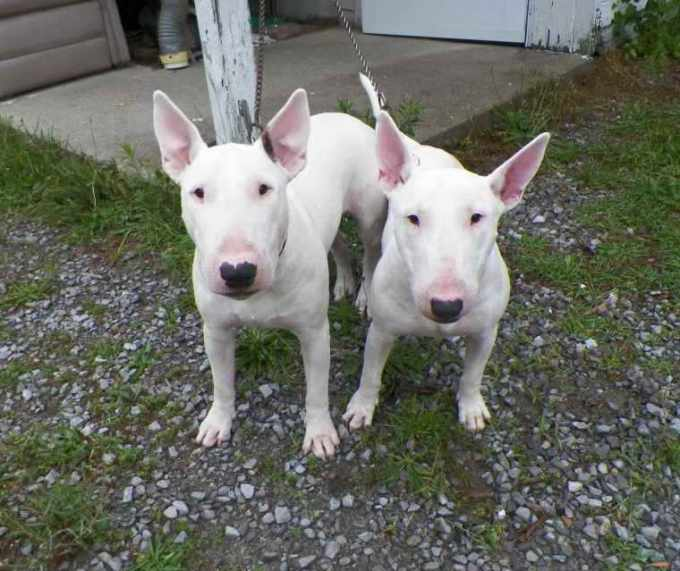 Bull Terrier Puppies For Sale Colorado