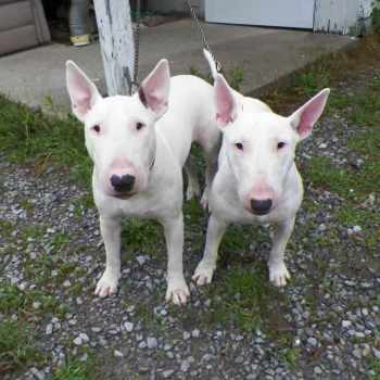Bull Terrier Puppies For Sale In Colorado