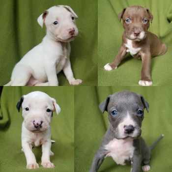 Bull Terrier Puppies For Sale In Michigan