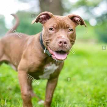 Bull Terrier Puppies Ma
