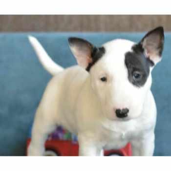 Bull Terrier Puppies Ny