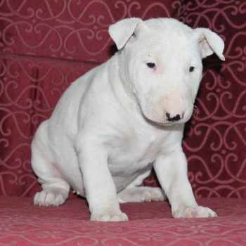 Bull Terrier Puppies Pa