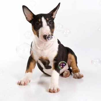 Bull Terrier Puppies Washington