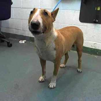 Bull Terrier Rescue Miami