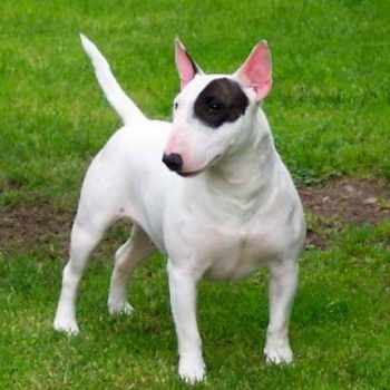 Bull Terrier Rescue Pa