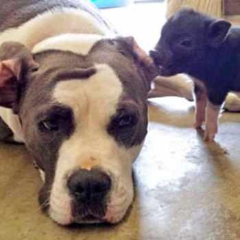 Bull Terrier Rescue Va