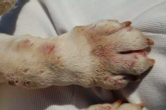 Bull Terrier Skin Problems