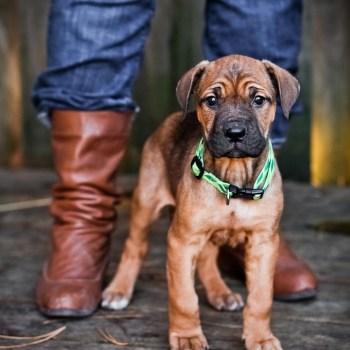 Bullmastiff Rottweiler Mix For Sale