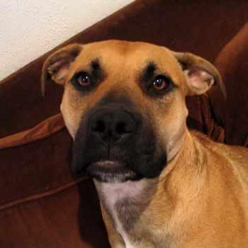 Bullmastiff Terrier