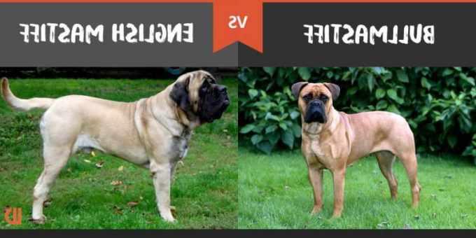 Bullmastiff Vs English Mastiff