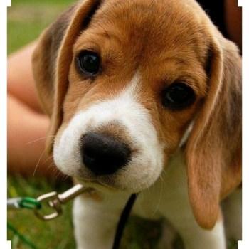 Buy A Beagle
