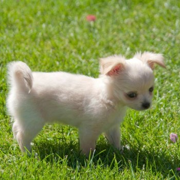 Buy A Chihuahua Puppy