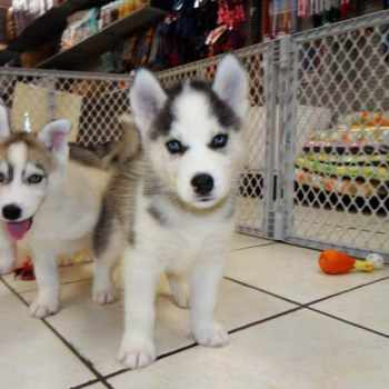 Buy A Husky Near Me