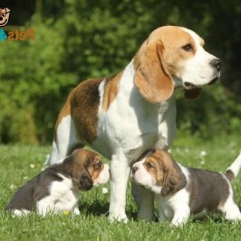 Buy Beagle Dog