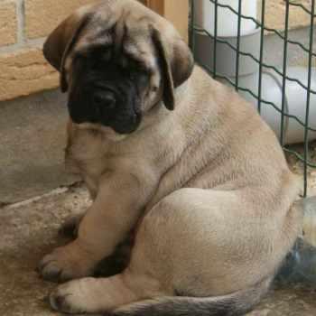 Buy English Mastiff Puppy