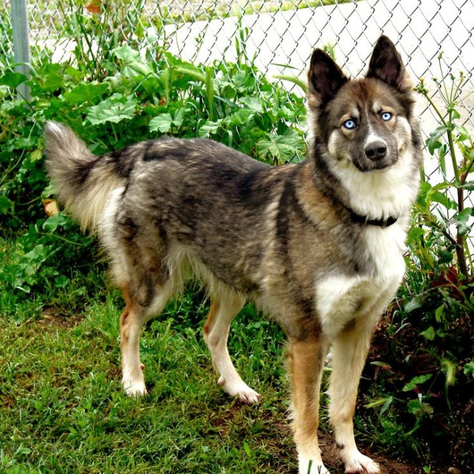 Buy German Shepherd Husky Mix