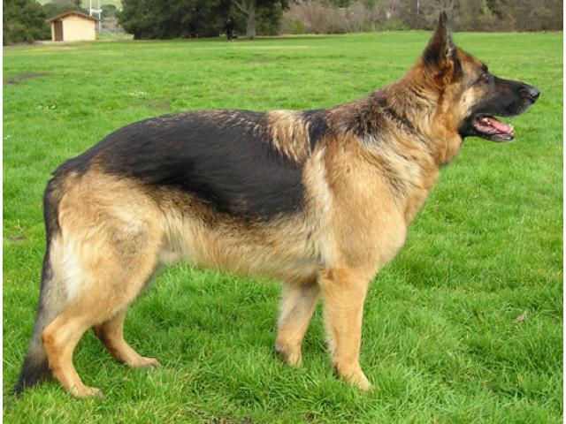 Buy German Shepherd Online