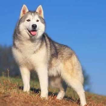 Buy Husky Pup