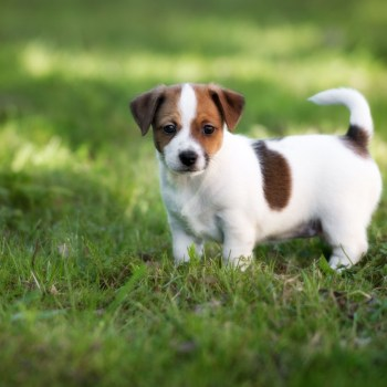 Buy Jack Russell Puppy