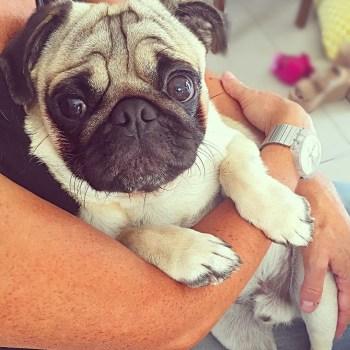 Buy Pug Puppy Online