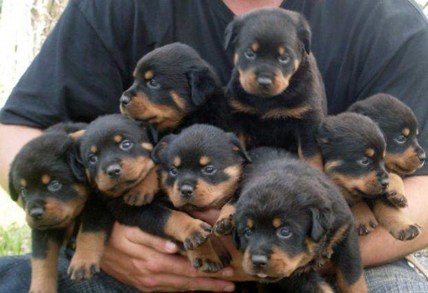 Buy Rottweiler Puppies