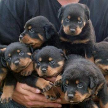 Buy Rottweiler Puppy