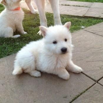 Buy White German Shepherd Puppy