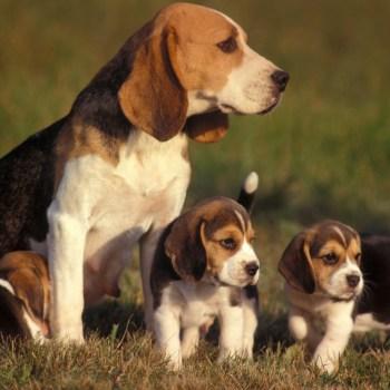 Buying A Beagle Pup