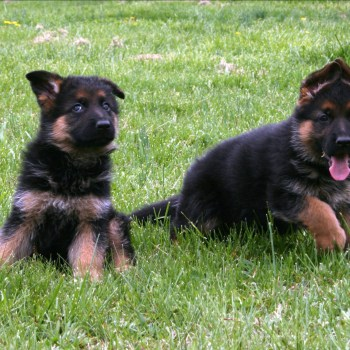 Buying A German Shepherd Pup