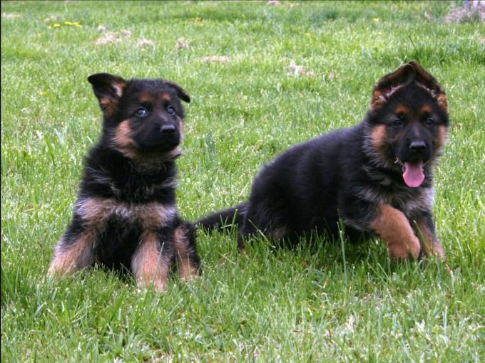 Buying A German Shepherd Pup