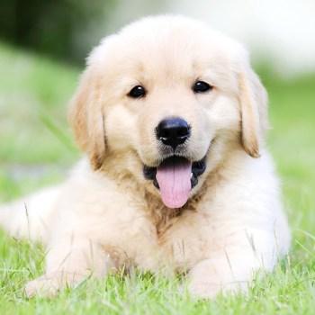 Buying A Golden Retriever Pup