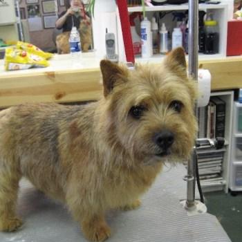 Cairn Norwich Terrier Mix